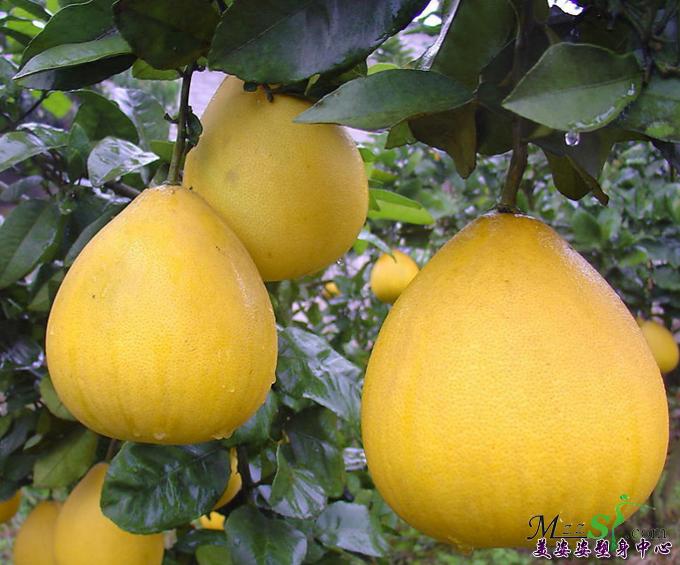 热门饮食减肥方法——柚子减肥法
