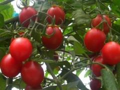 吃番茄减肥的三大优势
